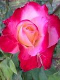 Flores cor-de-rosa do vermelho Imagem de Stock
