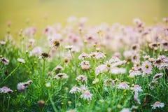 Flores cor-de-rosa do vintage na manhã Foto de Stock