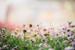 Flores cor-de-rosa do vintage na manhã Fotografia de Stock