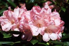 Flores cor-de-rosa do yakushimanum do rododendro Imagens de Stock Royalty Free