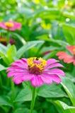 Flores cor-de-rosa do zinnia Fotos de Stock