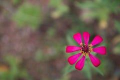 Flores cor-de-rosa do zinnia Foto de Stock