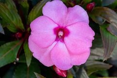 Flores cor-de-rosa dos impatiens de Nova Guiné em uns potenciômetros Imagens de Stock Royalty Free