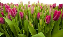 Flores cor-de-rosa dos Tulips Ornamental e flores crescentes para o projeto e os presentes da paisagem Imagens de Stock