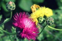 Flores cor-de-rosa e amarelas da alcachofra no fundo natural verde Foto de Stock