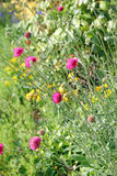 Flores cor-de-rosa e amarelas do prado do verão Fotos de Stock