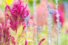 Flores cor-de-rosa e azuis Foto de Stock