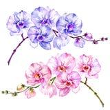Flores cor-de-rosa e azuis do Phalaenopsis da orquídea de traça Grupo de duas imagens Isolado no fundo branco Pintura da aguarela Fotos de Stock