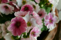 Flores cor-de-rosa e brancas fotografia de stock royalty free