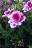 Flores cor-de-rosa e brancas Foto de Stock Royalty Free