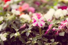 Flores cor-de-rosa e brancas foto de stock