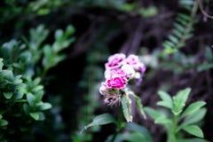 Flores cor-de-rosa e brancas imagem de stock