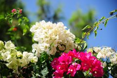 Flores cor-de-rosa e brancas bonitas Fotografia de Stock