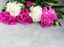 Flores cor-de-rosa e brancas bonitas da peônia Fotos de Stock Royalty Free