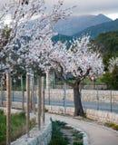 Flores cor-de-rosa e brancas da amêndoa Imagem de Stock Royalty Free