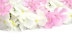 Flores cor-de-rosa e brancas da mola isoladas no fundo branco Fotografia de Stock