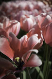 Flores cor-de-rosa e brancas holandesas fotografia de stock royalty free