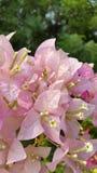 Flores cor-de-rosa e brancas no verde Fotografia de Stock Royalty Free