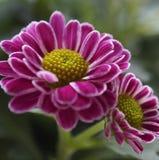 Flores cor-de-rosa e brancas pequenas fotografia de stock royalty free