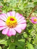 Flores cor-de-rosa e folhas frescas verdes ao redor Fotografia de Stock