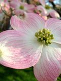 Flores cor-de-rosa e reflexões na água Fotos de Stock
