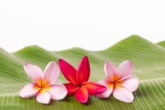 Flores cor-de-rosa e vermelhas do Frangipani Foto de Stock