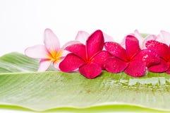 Flores cor-de-rosa e vermelhas do Frangipani Foto de Stock Royalty Free
