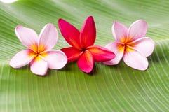 Flores cor-de-rosa e vermelhas do Frangipani Imagem de Stock Royalty Free