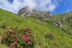 Flores cor-de-rosa em montanhas de Ciucas, a Transilvânia, Roménia Fotografia de Stock