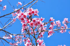 Flores cor-de-rosa em Tailândia no fundo do céu azul Fotos de Stock Royalty Free