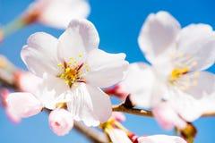 Flores cor-de-rosa em um fundo azul Imagens de Stock Royalty Free