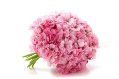 Flores cor-de-rosa em um fundo branco Fotografia de Stock Royalty Free