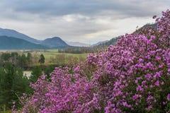 Flores cor-de-rosa em um fundo das montanhas, do rio e de um vale sob um céu nebuloso imagem de stock royalty free
