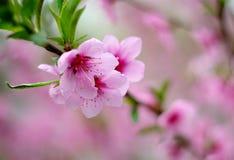 Flores cor-de-rosa em um ramo de árvore na mola em um fundo cor-de-rosa no jardim na natureza no parque fotografia de stock royalty free