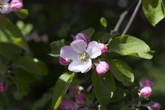 Flores cor-de-rosa em um ramo de uma Apple-árvore no jardim Fotografia de Stock