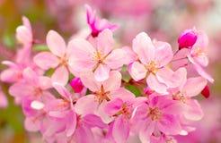 Flores cor-de-rosa em um ramo de ?rvore na mola em um fundo cor-de-rosa no jardim na natureza no parque imagem de stock