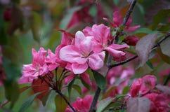 Flores cor-de-rosa empoeiradas delicadas do crabapple Fotos de Stock Royalty Free