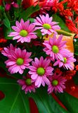 Flores cor-de-rosa exóticas da margarida fotografia de stock royalty free