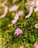 Flores cor-de-rosa de florescência do arbusto cor-de-rosa selvagem, fundo ensolarado floral natural Imagens de Stock Royalty Free