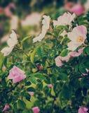 Flores cor-de-rosa de florescência do arbusto cor-de-rosa selvagem, fundo ensolarado floral natural Imagens de Stock
