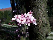 Flores cor-de-rosa de florescência no tempo de mola Imagens de Stock