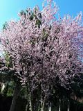 Flores cor-de-rosa de florescência no tempo de mola Fotografia de Stock Royalty Free