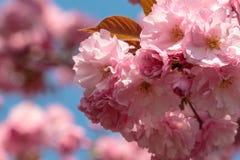 Flores cor-de-rosa de florescência de sakura fotografia de stock royalty free