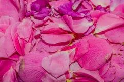 Flores cor-de-rosa frescas Imagem de Stock