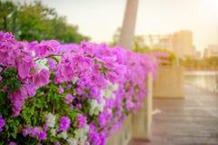 Flores cor-de-rosa de Fuengfah Imagens de Stock Royalty Free