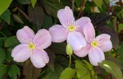 Flores cor-de-rosa grandes em clematites montana do jardim Imagens de Stock Royalty Free
