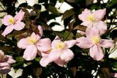 Flores cor-de-rosa grandes em clematites montana do jardim Imagens de Stock