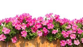 Flores cor-de-rosa isoladas imagem de stock royalty free
