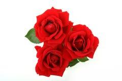 Flores cor-de-rosa isoladas Imagens de Stock