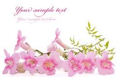 Flores cor-de-rosa isoladas no branco Fotos de Stock Royalty Free